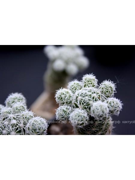 Маммиллярия стройная (Mammillaria gracilis)