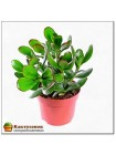 Денежное дерево Толстянка овальная (Crassula ovata)