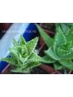 черенок Алоэ оттопыренное (Aloe juvenna, Aloe squarrosa)
