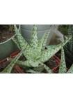 Алоэ раухи, сорт Сноу флейк (снежинка) (Aloe rauhii cv. Snow Flake)