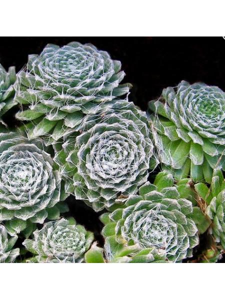 Молодило паутинистое, форма с крупной розеткой - Каменная роза (лат. Sempervivum arachnoideum)