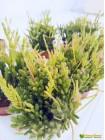 Черенок Рипсалис мезембриантемовый (лат. Rhipsalis mesembryanthemoides)