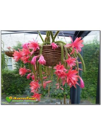 Апорокактус плетевидный (Aporocactus flagelliformis)