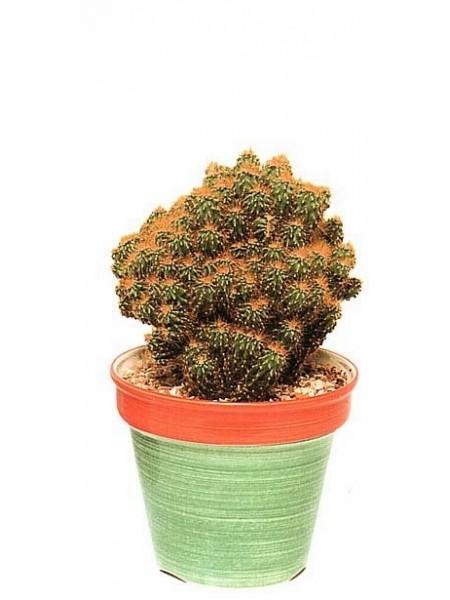 Скалистый кактус с жёлтыми колючками. Скалистый цереус, цереус перуанский монстрозная форма (Cereus peruvianus f. monstrosa) 60-70 мм