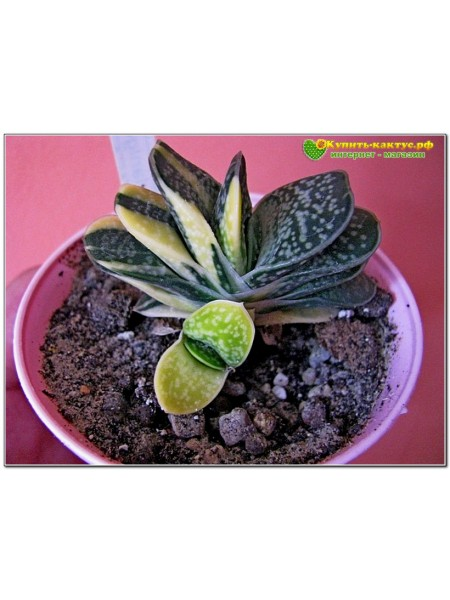 Гастерия пятнистая цветная форма (Gasteria maculata variegata)