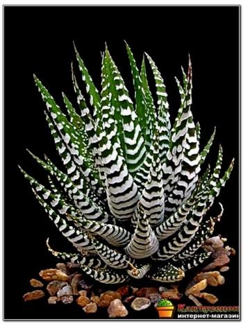 Хавортия полосатая (Haworthia fasciata c.v. Big Band, хавортия фасциата биг бэнд)