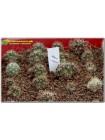 Лобивия киноварно-красная (Lobivia cinnabarina v. grandiflora)