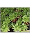Молодило русское (Stmpervivum ruthenicum)