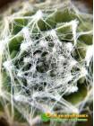 Молодило паутинистое, форма с мелкой розеткой - Каменная роза (Sempervivum arachnoideum, семпервивум арахноидеум)