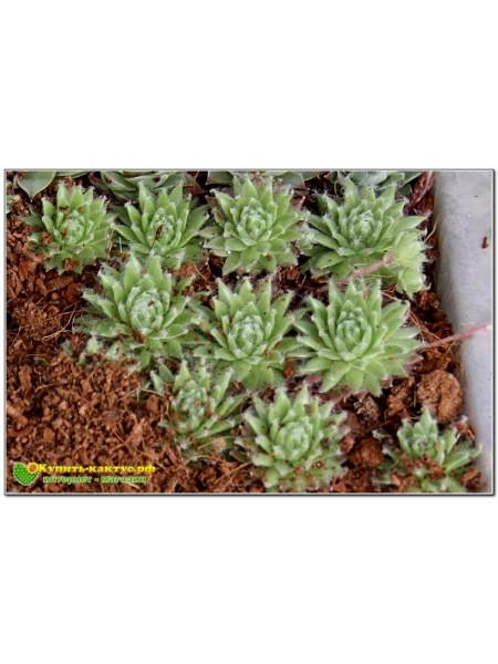 Молодило паутинистое, форма с мелкой розеткой - Каменная роза (Sempervivum arachnoideum)