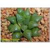 Хавортия мирабилис (Haworthia mirabilis var. paradoxa)
