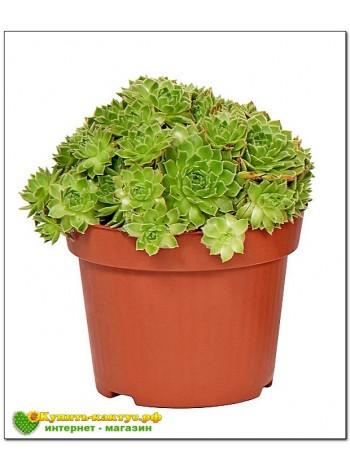 Молодило малорослое, или карликовое (Sempervivum pumilum) (8012)
