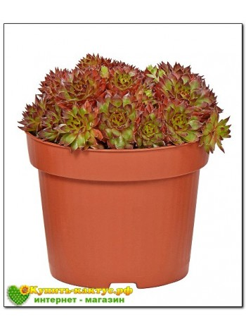 Молодило кровельное (Sempervivum tectorum) (8015)