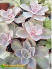 Эхеверия горбатоцветковая р. металлика (Echeveria gibbiflora f. metallica)