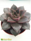 Эхеверия пурпузорум, Эхеверия Пурпуса (Echeveria purpusorum)