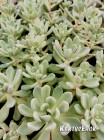 2 листовых черенка Пахиверия  Шейдекери (Pachyveria Scheideckeri)