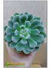 2 листовых черенка Эхеверия Атласная (Echeveria cv. bombycina) Не укорен.