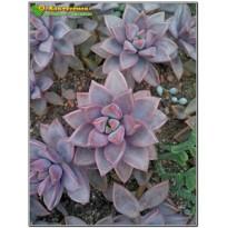 2 листовых черенка Граптоверия янтарная (Graptoveria cv. Gilva)