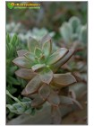2 укоренённых листовых черенка Граптоверия янтарная (Graptoveria cv. Gilva)