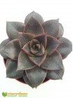 2 листовых черенка Эхеверия пурпузорум (Echeveria purpusorum)