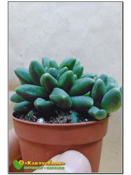 Листовой черенок Пахифитум компактный (Pachyphytum compactum)