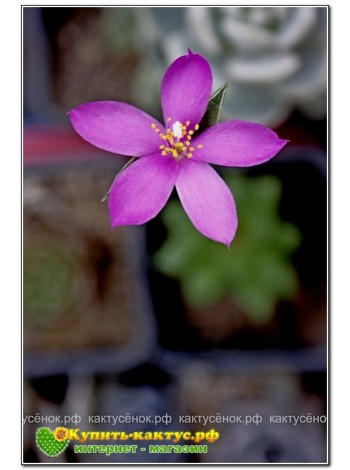 2 листовых черенка Анакампсерос рыжеватый (Anacampseros rufescens)