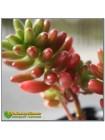 2 листовых черенка Очиток красноокрашенный (Sedum rubrotinctum)