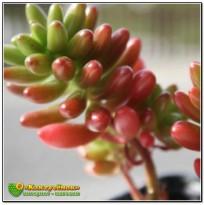 2 листовых черенка Очиток красноокрашенный (Sedum rubrotinctum, седум рубротинктум)