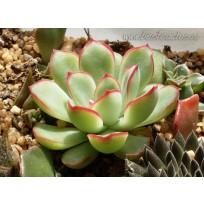 2 листовых черенка Эхеверия пулидонис (Echeveria pulidonis)