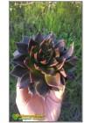 2 листовых черенка Эхеверия Чёрный принц (Echeveria Black Prince)