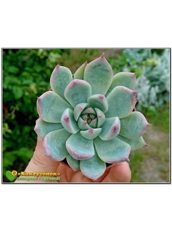 2 листовых черенка Эхеверия Фрэнка (Echeveria cv. 'Frank Reinelt')