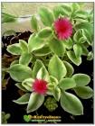 Черенок Аптения сердцелистная вариегатная (Aptenia cordifolia variegata)