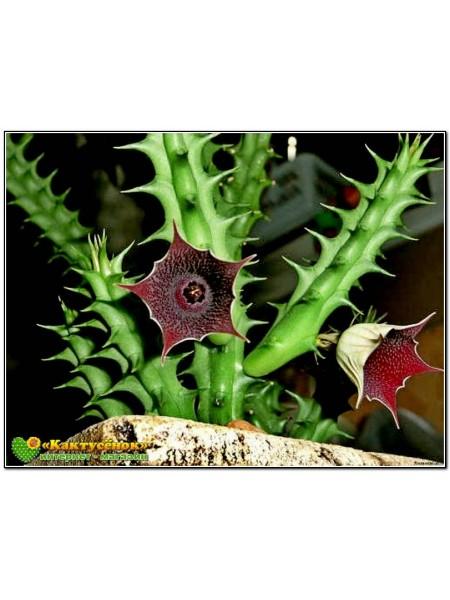 Гуэрния кенийская (Huernia keniensis)
