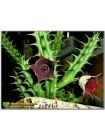 Черенок Гуэрния кенийская (Huernia keniensis)