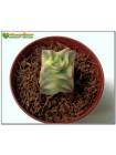 Черенок Крассула (Толстянка) продырявленная, вариегатная форма (Crassula perforata f. variegata)