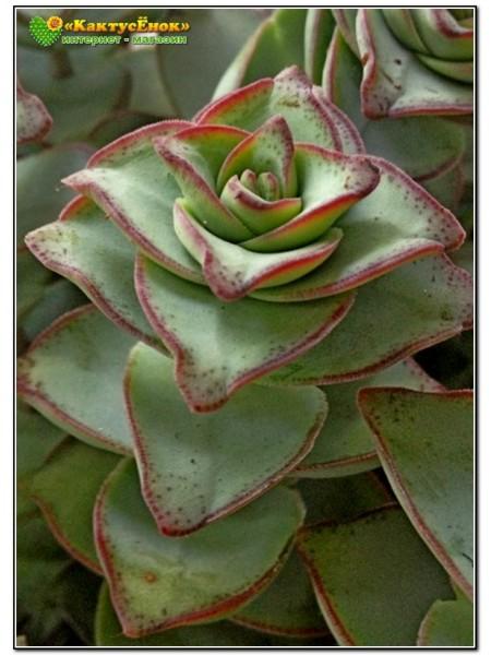 Черенок Толстянка объединенная (Крассула Crassula conjuncta cv. Giant pagoda)