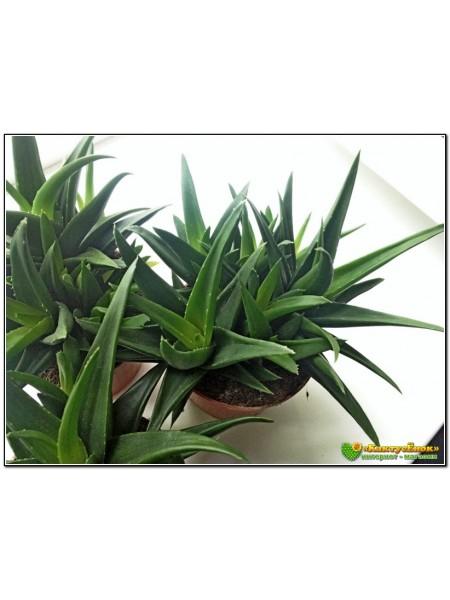 Алоэ Блек Джем (Черное сокровище) (Aloe cv. Black Gem)