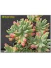 2 листовых черенка Очиток толстолистный (Sedum pachyphyllum)