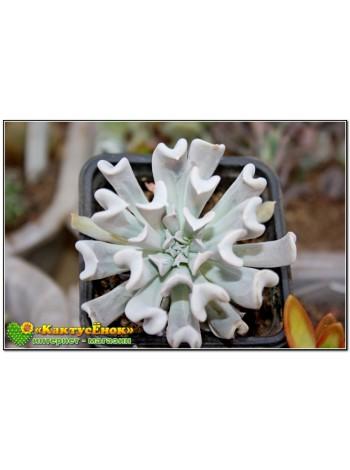 2 листовых черенка Эхеверия Руньона, сорт Топси-Турви (Echeveria runyonii cv. Topsy-Turvy)