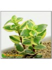 Черенок Крассула ветвистая (crassula sarmentosa f. variegata сарментоза)
