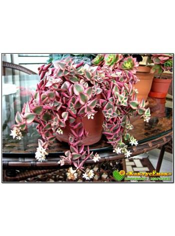 Черенок Толстянка окаймленная (Crassula pellucida ssp marginalis Variegata маргиналис)