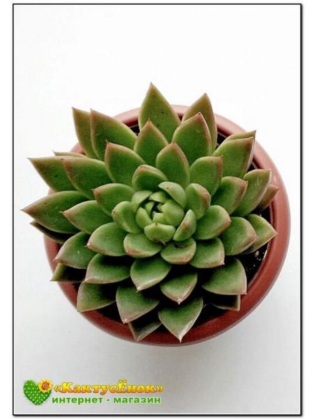 2 Листовых черенка Эхеверия агавовидная (Echeveria agavoides, эхеверия агавоидес)