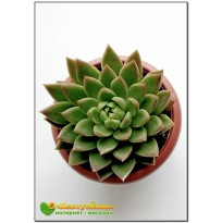 2 Листовых черенка Эхеверия агавовидная (Echeveria agavoides)
