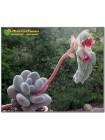 Листовой черенок Пахифитум яйценосный (Pachyphytum oviferum) Не укоренённый