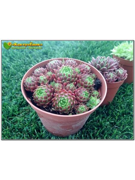 Молодило отпрысковое (Sempervivum soboliferum)