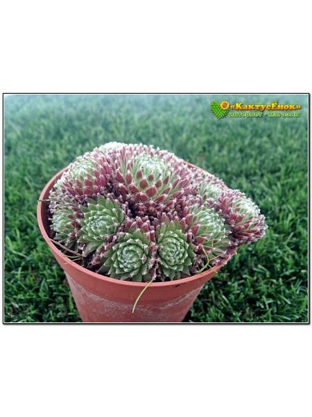 Молодило реснитчатое (Sempervivum ciliosum)