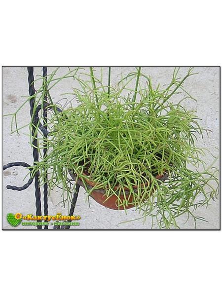 Черенок Рипсалис волосовидный (Rhipsalis capilliformis)