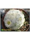Маммиллярия перистая (Маммиллярия плюмоза, Mammillaria plumosa)
