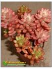 """2 листовых черенка Очиток культивар """"Аврора"""" (sedum rubrotinctum cv. aurora variegata)"""