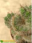 Никтоцереус змеевидный, кристатная форма (Nyctocereus serpentinus f.cristata)
